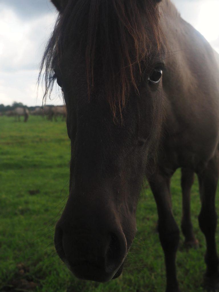 Dülmen Duitsland wilde paarden