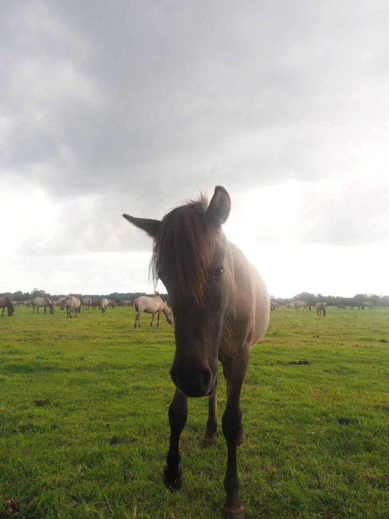Münsterland wilde paarden