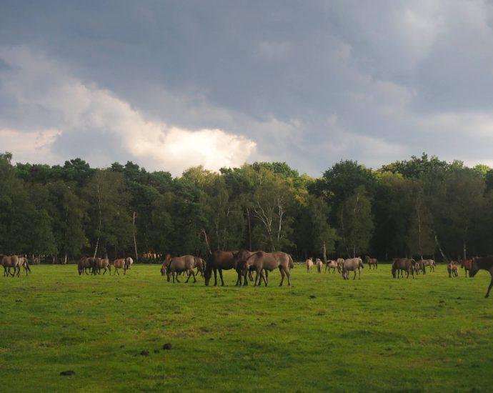 Wilde paarden in Dülmen Duitsland