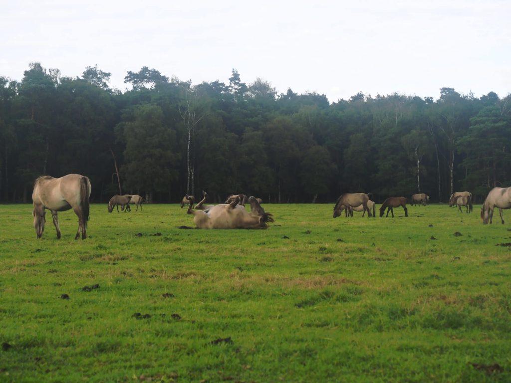 Wilde paarden in het Münsterland