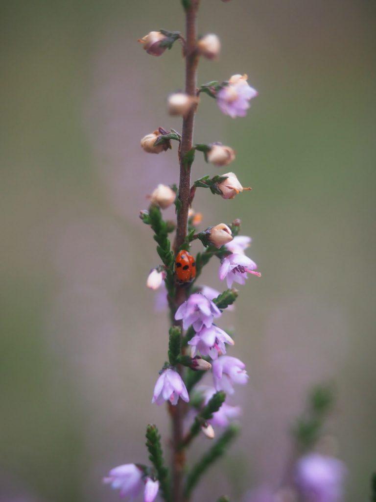 Heide in bloei met lieveheersbeestje in Duitsland