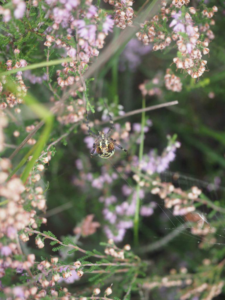 Tijgerspin met heide in het Natuurpark Moor-Veenland