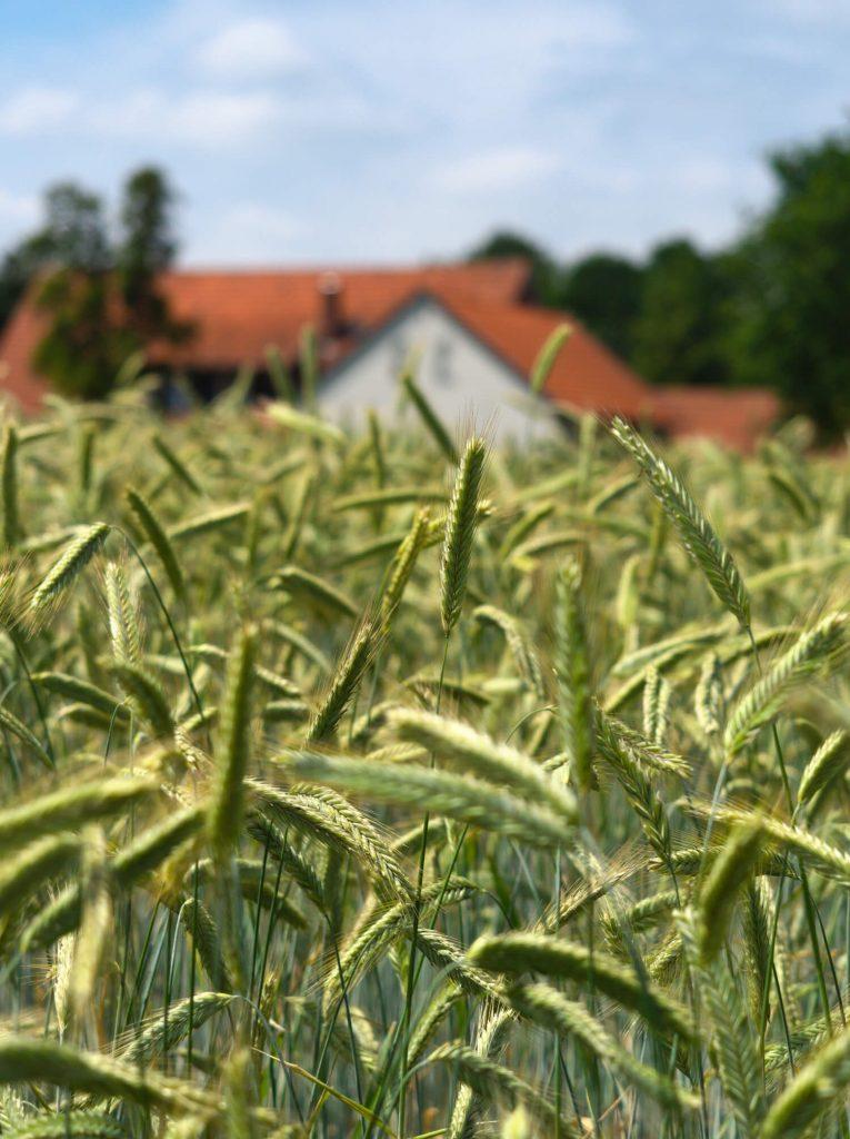 Graanveld en boerderij in Warendorf