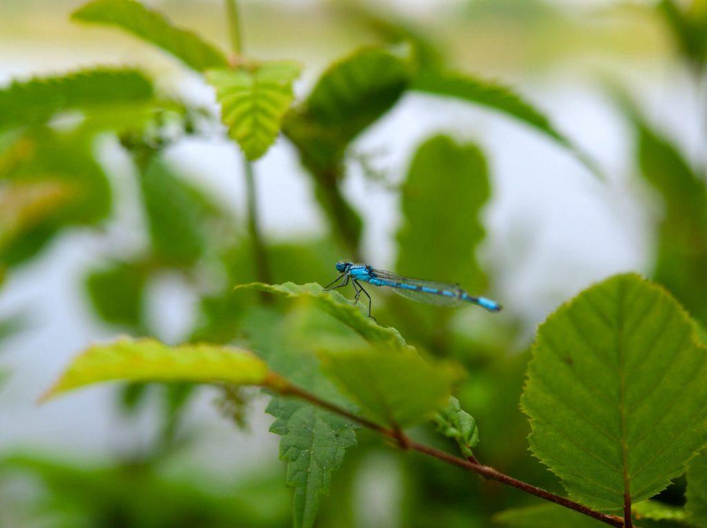 Libelle in de natuur bij Feldmarksee Duitsland